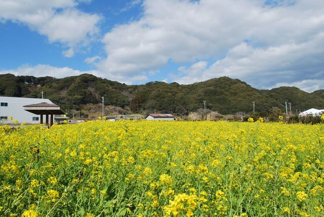 [19 MAR.ONLY] Field Mustard!! Trail Walk in the fresh spring air! (Chiba)